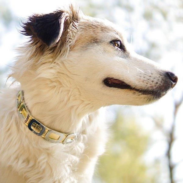 collier or pour chien
