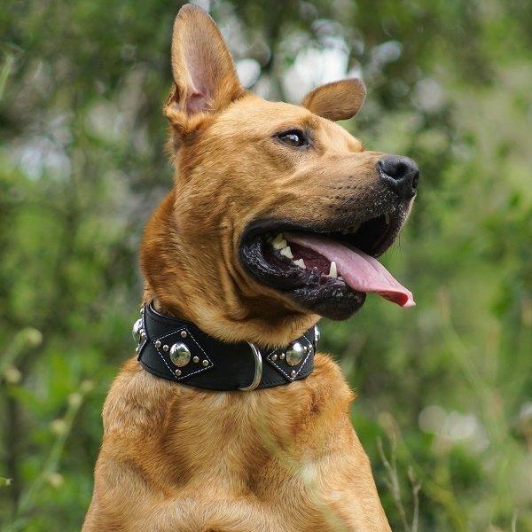 collier pour gros chien metallica